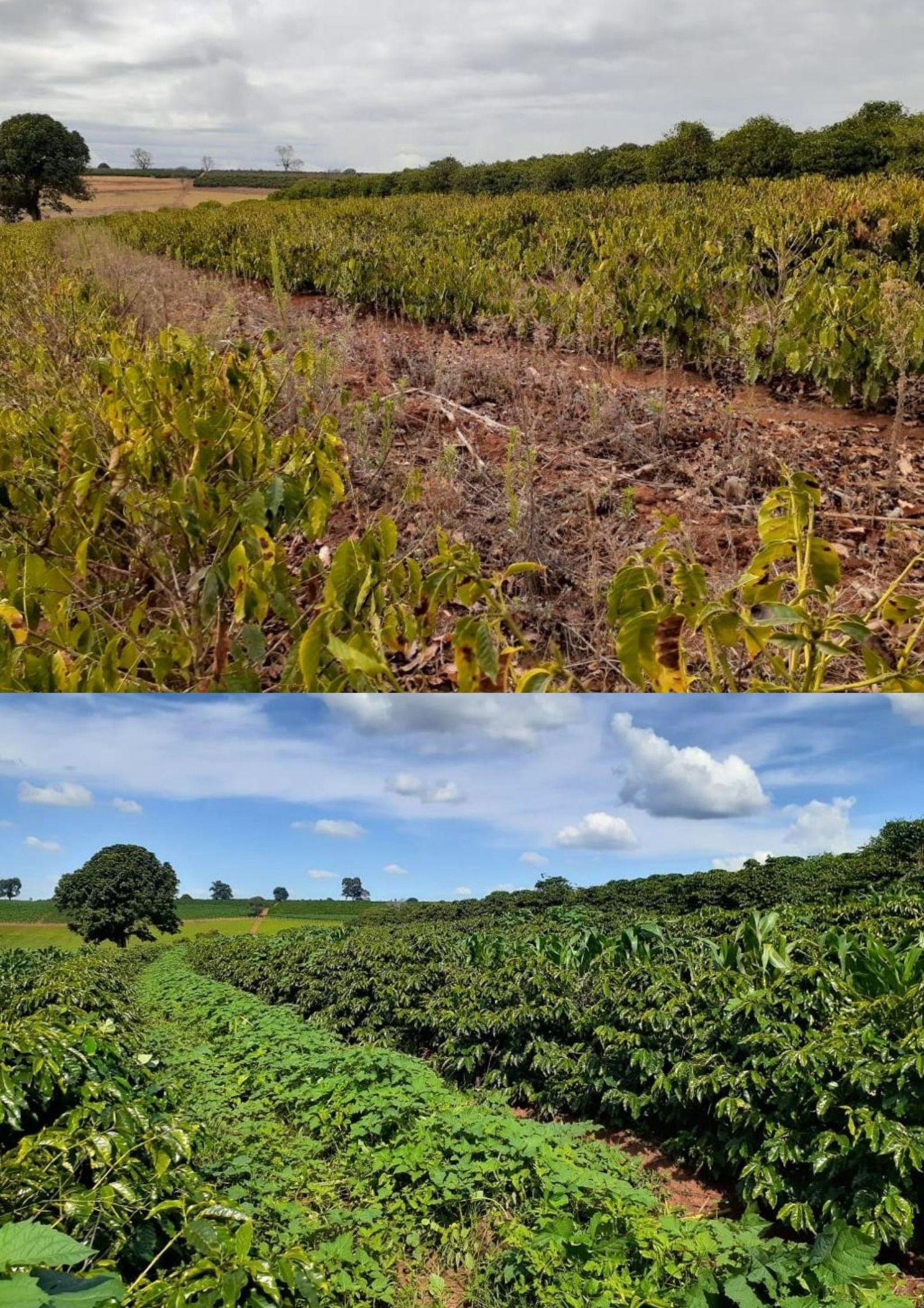 ATeG: cafeicultor contorna impacto da seca